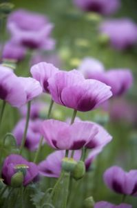 Pink Poppies V by Richard Osbourne