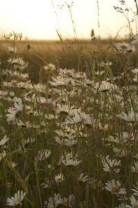 Oxeye Daisies IV by Richard Osbourne