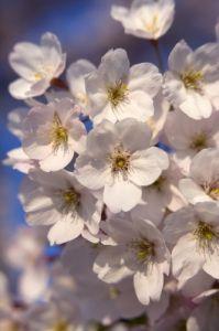 Spring Blossom I by Richard Osbourne