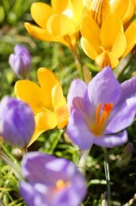 Crocuses I by Richard Osbourne