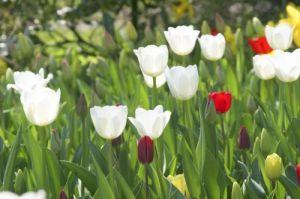 Tulips I by Richard Osbourne