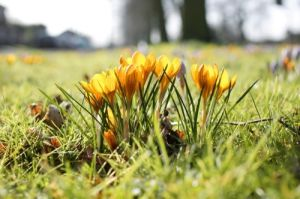 Crocuses II by Richard Osbourne
