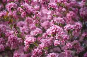 Pink Cherry Blossom by Richard Osbourne