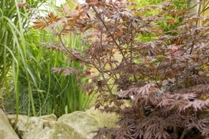 Japanese Acer by Richard Osbourne