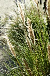 Pampas Grass by Richard Osbourne