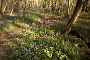Woodland Bluebells I by Richard Osbourne