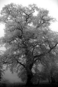 Winter Oak by Richard Osbourne