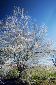Spring Blossom IV by Richard Osbourne