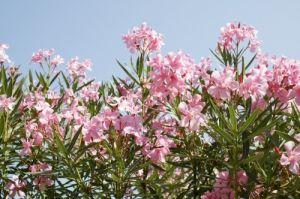 Oleander by Richard Osbourne