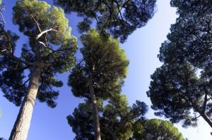 Stone Pines - Rome by Richard Osbourne