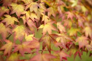 Japanese Maple Leaves by Richard Osbourne