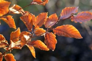Beech Leaves by Richard Osbourne