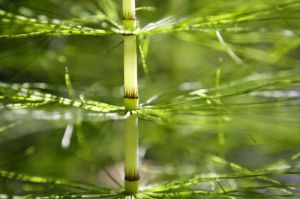 Giant Horsetail by Richard Osbourne