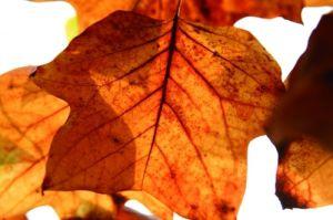 Tulip Tree Leaves in Autumn by Richard Osbourne