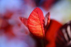 Red Smoke Tree by Richard Osbourne