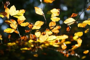 Beech Leaves Autumn by Richard Osbourne