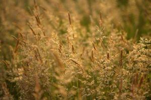 Golden Grasses by Richard Osbourne