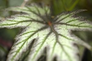 Begonia Leaf by Richard Osbourne