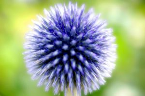 Globe Thistle by Richard Osbourne