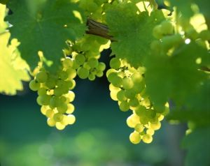 Grapes on Vine English Vineyard by Richard Osbourne