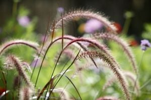 Pennisetum Grass by Richard Osbourne