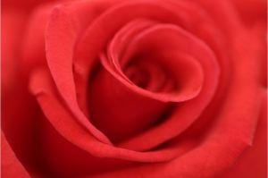 Red Rose Close-Up by Richard Osbourne