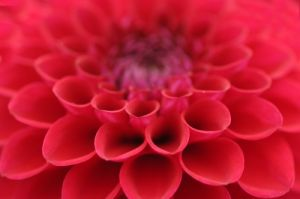 Dahlia III by Richard Osbourne
