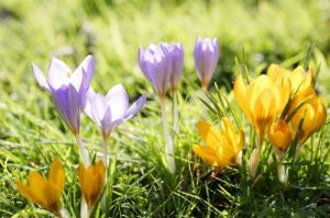 Crocuses by Richard Osbourne