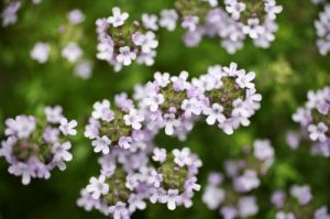 Thyme Flowers by Richard Osbourne