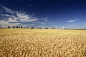 Wheat Field With Wind Farm On Horizon, Norfolk by Richard Osbourne