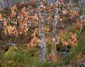 Oak Trees, Inverness, Scotland by Richard Osbourne