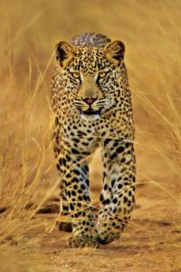 Leopard by Anonymous