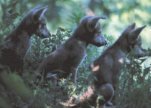 Grey Wolves, Wichita, Kansas by Anonymous
