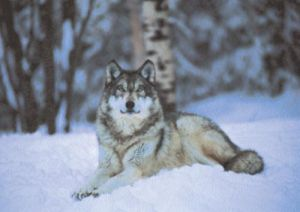 Grey Wolf, Minnesota by Anonymous