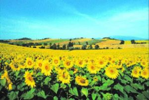 Sunflower Field (large) by Philip Enticknap