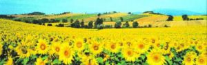 Sunflower Field, Umbria by Philip Enticknap