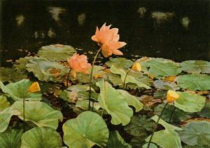 The Lotus by Charles Emile Heil