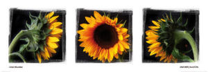 Sunflower Collection by Ilona Wellmann