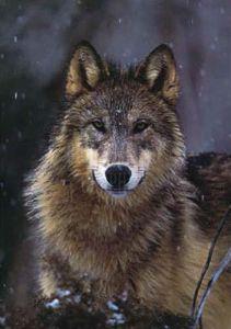 Woodland Pride, Montana by Art Wolfe