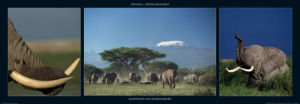 Elephants and Kilimanjaro by M & C Denise Hout