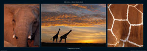Giraffes at Dusk by M & C Denise Hout