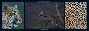 Leopard Resting by M & C Denise Hout