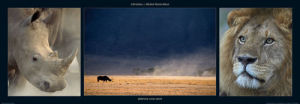 Rhinos and Lion by M & C Denise Hout