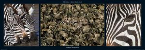 Zebras Migration by M & C Denise Hout