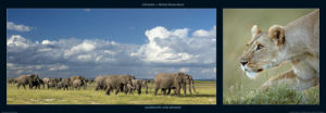 Elephants and Lioness by M & C Denise Hout