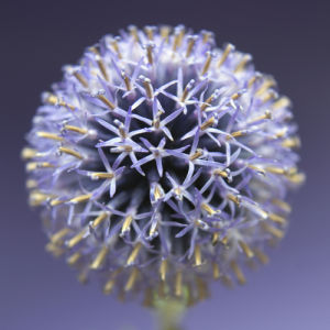 Echinops by Captureworx