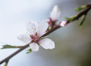 Prunus dulcis by Carol Sharp
