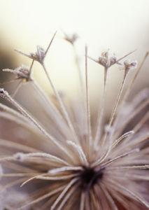 Allium cristophii by Carol Sharp
