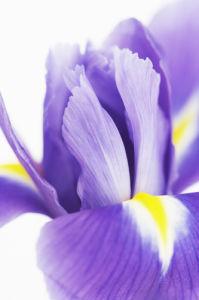 Iris by Cunningham -Waterman
