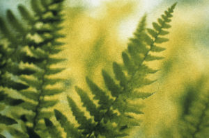 Pteridium aquilinum by Den Reader